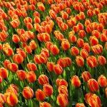 Olanda: conseguenze della Brexit
